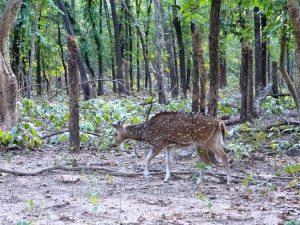 Deer-roaming-freely-doladanga